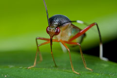 Colorful mirid bug Royalty Free Stock Photo