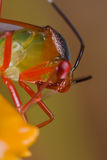 A colorful mirid bug on an orange wildflower Stock Image