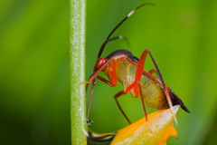 A colorful mirid bug/plant bug on orange wildflowe Royalty Free Stock Photography