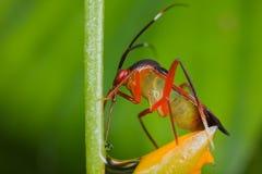 A colorful mirid bug/plant bug on orange wildflowe Royalty Free Stock Photography