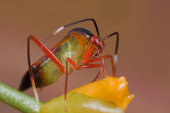 A colorful mirid bug/plant bug on orange wildflowe Stock Photo