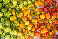 A colorful mix of the hottest chili peppers Stock Photography
