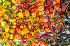 A colorful mix of the hottest chili peppers Stock Image