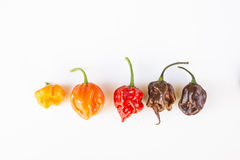 A colorful mix of the hottest chili peppers Royalty Free Stock Image