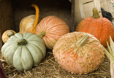 Colorful mixed pumpkins Royalty Free Stock Image