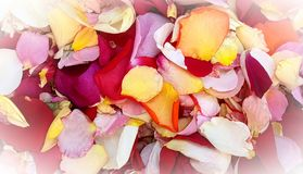 Colorful mixed rose flower petals royalty free stock photo