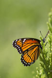 Colorful Monarch Butterfly -  Danaus plexippus 5 Royalty Free Stock Image