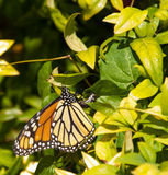 Colorful Monarch Butterfly laying eggs Royalty Free Stock Photo
