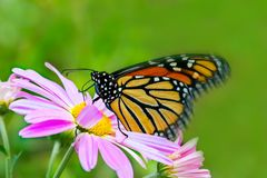 Colorful Monarch Butterfly on pink cosmos flower. Monarch Butterfly on pink cosmos flower summer stock photos