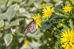 Colorful monarch butterfly sitting on yellow daisy royalty free stock photos