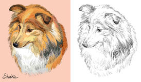 Colorful and monochrome hand drawing vector portrait of Sheltie Royalty Free Stock Photo