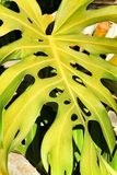 Colorful Monstera Deliciosa in the garden stock images