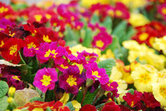 Colorful morning glory flowers Stock Images