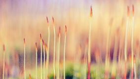 Colorful moss with the background blurred. Macro growing stems beautiful colorful moss with a blurred background on a summer day Royalty Free Stock Images