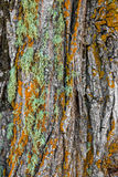 Colorful moss on a tree. Bark background Royalty Free Stock Images