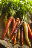 Colorful Multi Colored Raw Carrots. On a Background Royalty Free Stock Photo