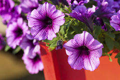 Colorful Multiflora Petunias Royalty Free Stock Images