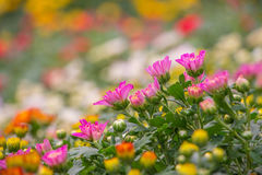 Colorful mum flowers. In the garden Stock Images