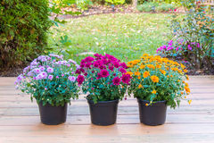 Colorful mum flowers Stock Photo