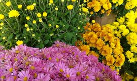Colorful Mums Royalty Free Stock Photos
