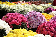 Colorful mums for sale. Sea of colorful fall mums for sale at a market Royalty Free Stock Photo