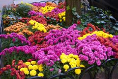 Colorful Mums in a Sidewalk Flower Bed Stock Images