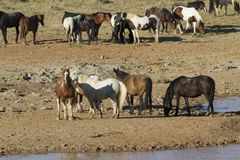 Colorful Mustangs at a Water Hole Royalty Free Stock Photos