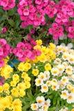Colorful Namesia Flowers(Nemesia Strumosa) Stock Photo