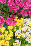 Colorful namesia flowers(Nemesia strumosa) Stock Photo