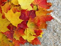 Colorful natural autumn maple tree , Lithuania Stock Photography