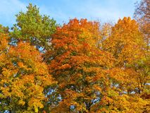 Colorful natural autumn maple trees , Lithuania Royalty Free Stock Photo