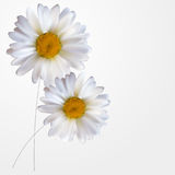 Colorful Naturalistic Beautiful 3D Chamomile Background Vector Illustration. Eps10 Stock Images
