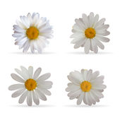 Colorful Naturalistic Beautiful 3D Chamomile Set. Organic Cosmet. Ic Ingredients Isolated Vector Illustration. Eps10 Royalty Free Stock Photos