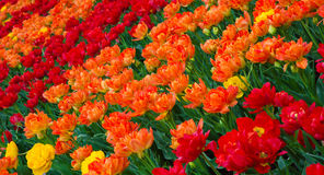 Colorful Nature Background of Tulips Flowers. Amazing Double Red Orange Tulips Growing in the Garden of Spring Sunny Day. Floral Pattern. Wide Horizontal Royalty Free Stock Images
