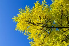 Colorful nature background, yellow leaves against a clear blue sky. Beautiful natural background, a tree branch with golden yellow autumn leaves against the stock photo
