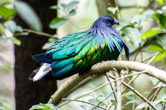 Bird Colorful Nicobar Pigeon (Caloenas nicobarica) in the forest bacground. Bird Colorful Nicobar Pigeon (Caloenas nicobarica) in the Royalty Free Stock Image