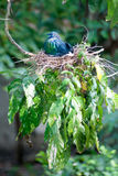 Colorful Nicobar Pigeon Hatching eggs in a nest on a tree. Stock Image