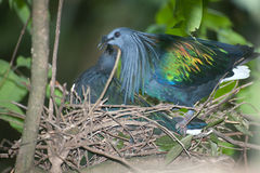 Colorful Nicobar Pigeon Hatching eggs in a nest on a tree. Stock Photo