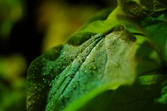 Raindrops on a leaf royalty free stock image