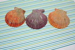 Colorful noble scallop shell Royalty Free Stock Image