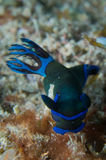 Colorful nudibranch. Under blue water Royalty Free Stock Photos