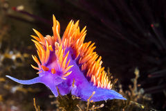 Colorful nudibranch. A Spanish shawl nudibranch snail, commonly found in the Channel Islands of California, crawls on branching cnidarians in search of food Stock Images