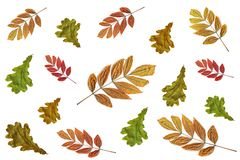 Colorful oak and ash autumn leaves isolated on a white background