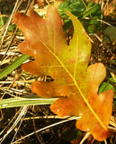 Colorful oak leaf on ground Royalty Free Stock Photo