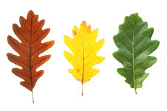 Colorful oak leaves. Set of colorful oak leaves isolated on white royalty free stock image
