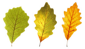 Colorful oak leaves Stock Photo