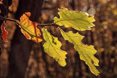 Colorful oak leaves in autumn Royalty Free Stock Images