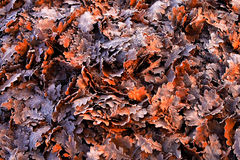 Colorful oak leaves in a frosty morning Royalty Free Stock Image