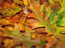 Colorful oak leaves pattern Stock Photography