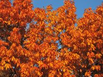 Colorful oak tree in autumn, Lithuania Stock Photos